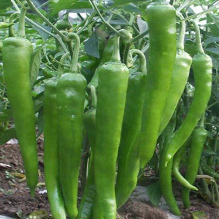辣椒怎样合理种植与施肥