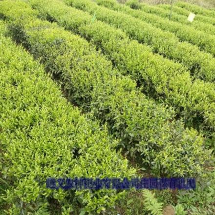 施肥后的茶叶基地