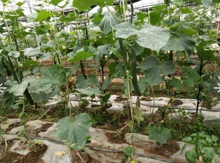 贵州黄瓜种植