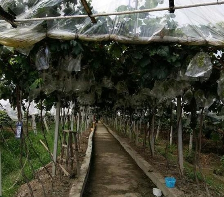 施有机肥后的葡萄